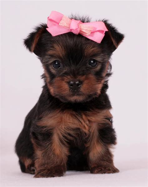 yorkie puppies for sale tulsa ok puppies for sale puggle yorkie goldendoodle labradoodle standard poodle pug shorkie