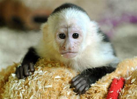 Affe Als Haustier by Affen Als Haustier Deko Feiern Zenideen