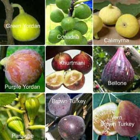 Bibit Buah Tin Jawa Timur jual bibit buah tin murah aneka bibit murah