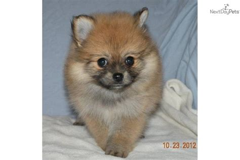 boo puppy for sale price pomeranian puppy for sale near battle creek michigan