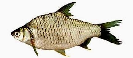 Benih Kelengkeng Yang Bagus gema wirausaha cara pembenihan ikan tawes