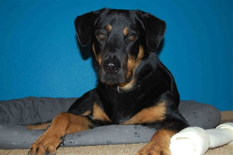 rottweiler black lab mix labrottie labrador retriever rottweiler mix info puppies pictures
