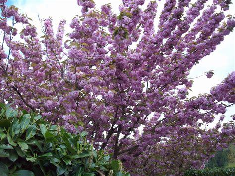 flowering cherry rainyleaf