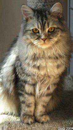Semi Coat Big Size Jumbo Lvl hair cat breeds cat breeds and cats on