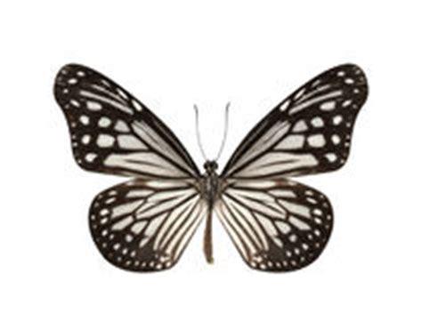Papillon Noir Sur Un Fond Blanc Photo Stock Image 64230959 Insecte Dessin Illustration De Dessin De Papillon Noir Sur Fond Blanc L