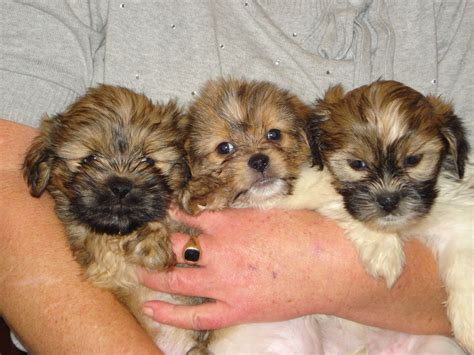 pomeranian and shih tzu mix shih tzu pomeranian mix puppies picture breeders guide