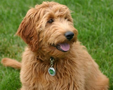 Types Of Dogs With Curly Hair by Diy Pet Id Tags Fizzy Pops