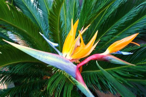 bird paradise flower bird of paradise gardening photo 2544084 fanpop