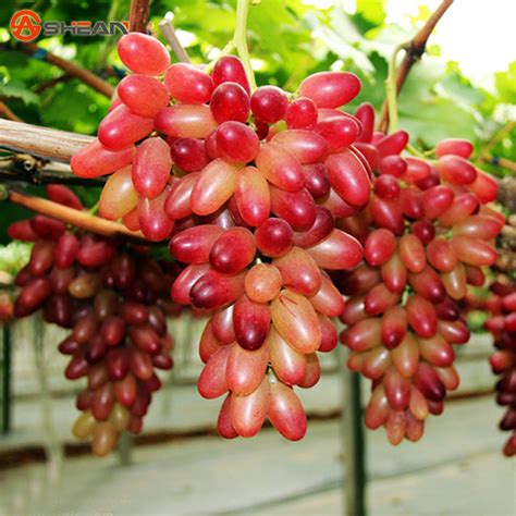 best place to buy wholesale fruit trees buy wholesale grape seeds from china grape seeds