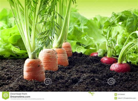 backyard grow carrots and radish growing in the garden stock photo image 24199658
