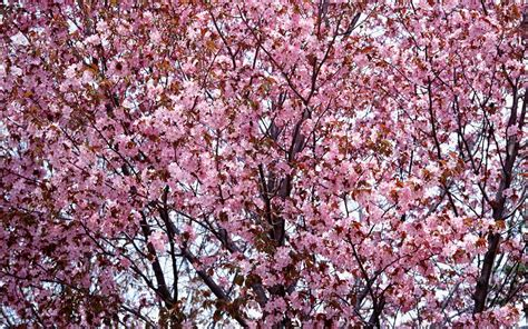 images of cherry blossoms wallpapers cherry blossom