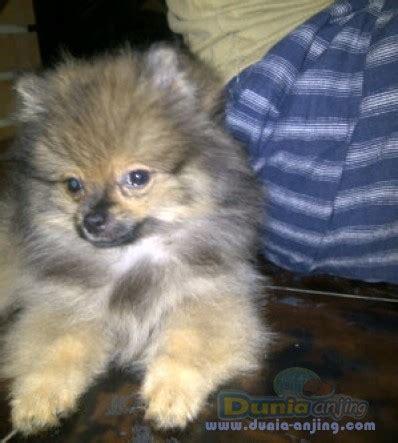Jual Jual Minipom Jantan Kaskus dunia anjing jual anjing pomeranian minipom jantan non