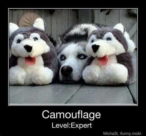 Siberian Husky Meme - joking husky meme siberian husky meme siberian husky