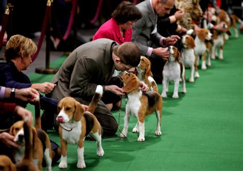 show dogs canines take center stage in new york westminster show begins today