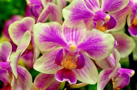 come si curano le orchidee in vaso piante di orchidee artificiale pianta di orchidea
