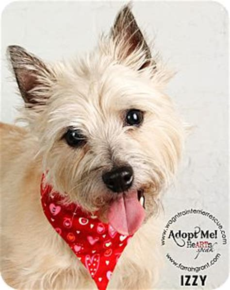 puppies for adoption omaha ne omaha ne cairn terrier meet izzy a for adoption