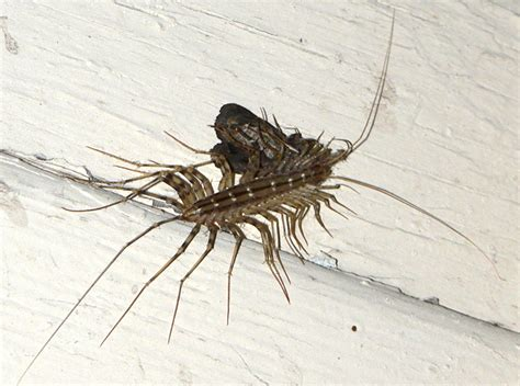 house centipede house centipede eats moth what s that bug