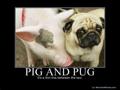pig and pug pig and a pug pugs pigs