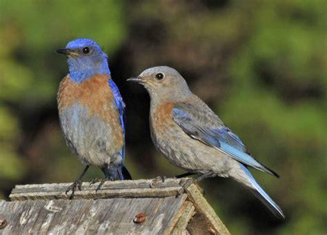 little blue birds birds of prey