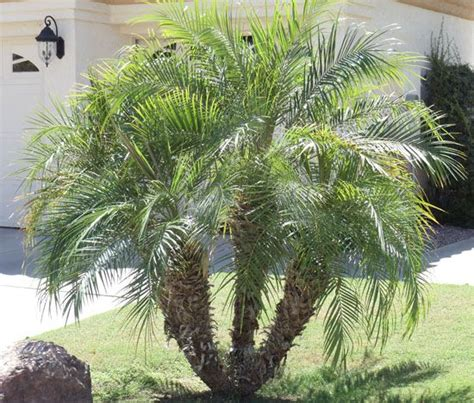 european mediterranean fan palm pigmy palm can we use this instead i like it better