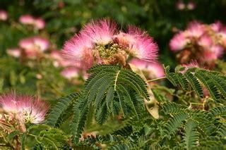 Minosa Nw albizia julibrissin mimosa discover
