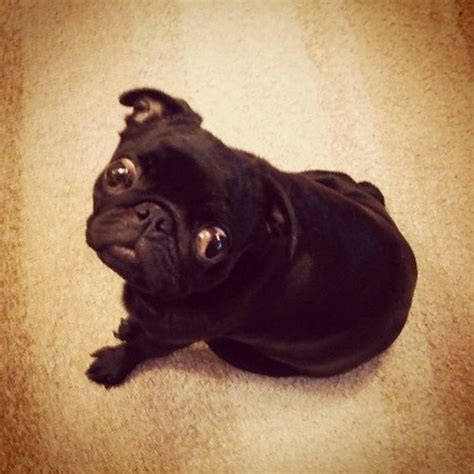 pug googly 1000 images about pug on posts puppys and pug