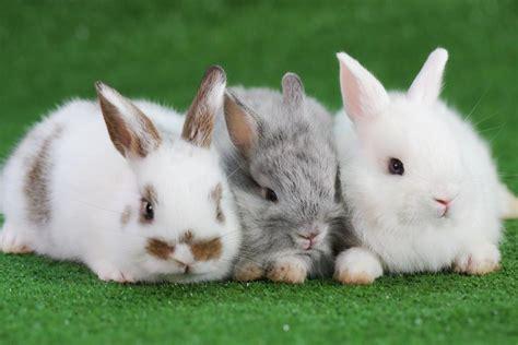 Gantungan Bunny Kopenhagen Bunny 1 chinaseuche bedroht kaninchen in nrw