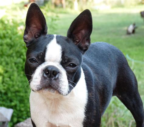 top 5 small non shedding breeds all pet news