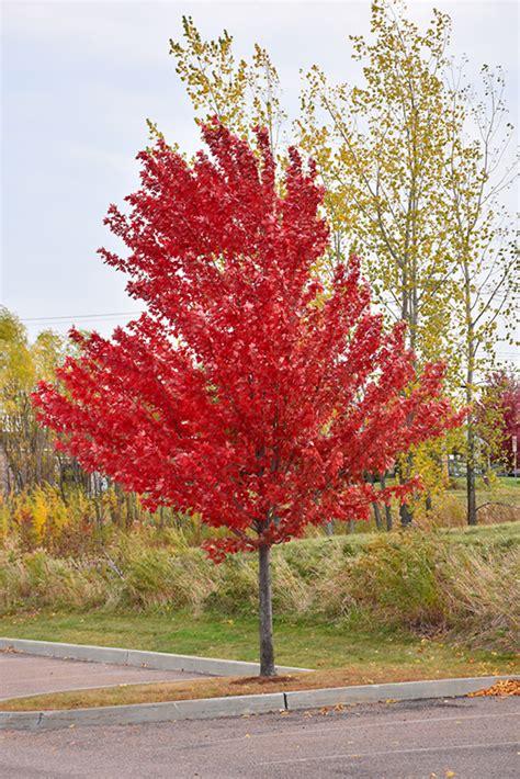 Home Decorating Program Autumn Spire Red Maple Acer Rubrum Autumn Spire In