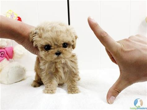 teacup poodle puppies best 25 teacup poodle puppies ideas on