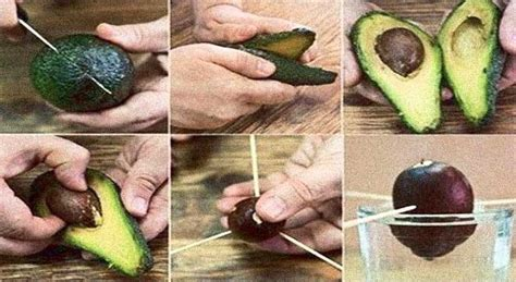 avocado tree from seed fruit how to grow an avocado tree for endless organic avocados