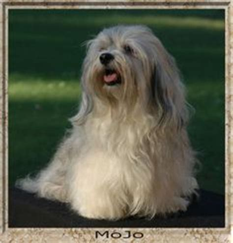 akc rules for giving a havanese a hair cut grooming a havanese learn all about grooming a havanese