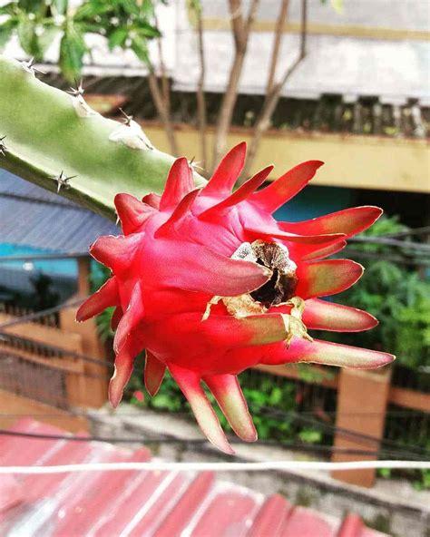 Bibit Buah Naga Di Makassar cara mudah menanam buah naga dalam pot dengan 10 menit