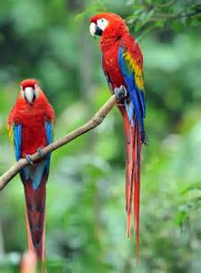 scarlet macaw animal facts and information