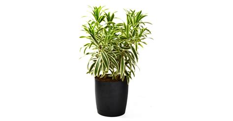 inside urban green low light low maintenance dracaena bowl 7 indoor plants that purify the air around you naturally