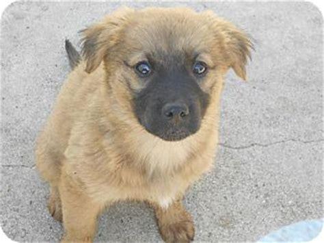 german shepherd golden retriever puppies becca adopted puppy a1007426 torrance ca golden retriever german shepherd mix