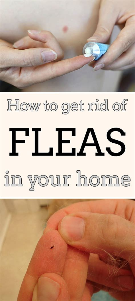 How To Rid Your House Of Fleas by How To Get Rid Of Fleas In Your Home Mycleaningsolutions