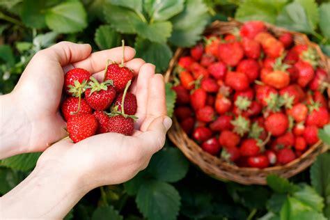 Balkon Bepflanzen Ab Wann by Wann Erdbeeren Pflanzen Awesome Wann Erdbeeren Auf Dem