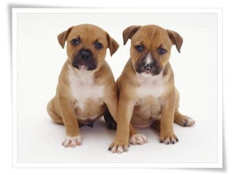 purebred dogs for sale purebred adorable staffie puppies for sale johannesburg puppies for sale