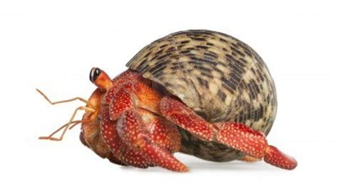 do hermit crabs need a heat l which came first hermits or kings