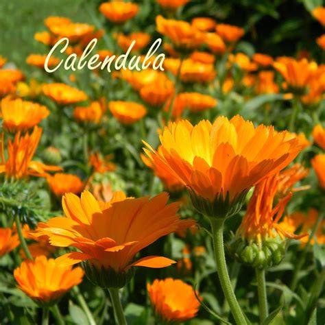 100 marigolds shade sized marigolds rotary