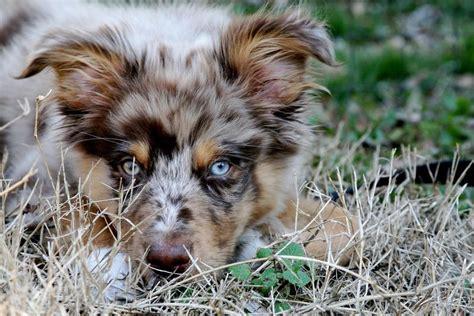 australian shepherd puppy cost picture of australian shepherd puppy up jpg hi res 720p hd