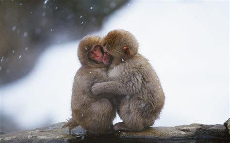 wallpaper cute monkey snow monkey hug cute wallpaper download hd snow monkey