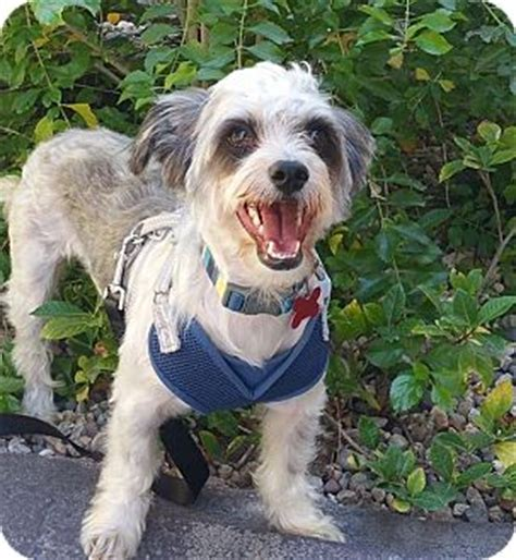 havanese puppies for adoption in california encino ca havanese mix meet raccoon a for adoption