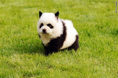 panda puppies china s craze dyeing pets to look like other animals global