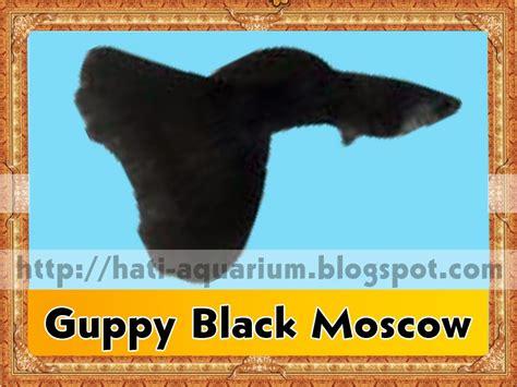 Ikan Hias Aquarium Aquascape Ikan Guppy Black Moscow 13 jenis ikan hias guppy hati aquarium