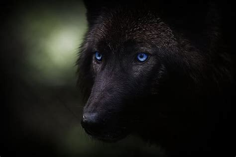Black Wolf   Halloween   Pinterest   I am, Handsome man ... Growling Black Wolf With Yellow Eyes