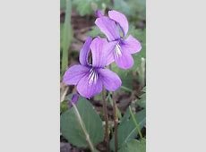 368 best Wild Violets images on Pinterest   Violets, Viola ... Johnny Jump Up Flower Tattoo