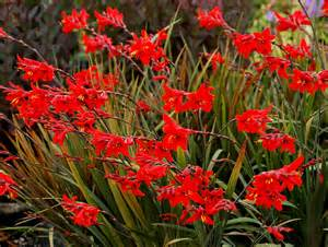 crocosmia twilight fairy crimson kelowna gardens