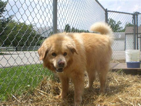 golden retriever chow mix puppies for sale in michigan golden chow puppies smiling breeds puppies golden chow puppies